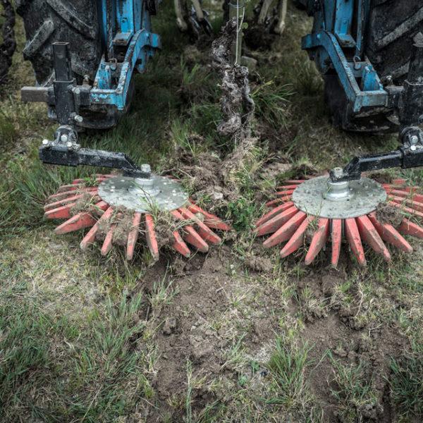 Des brebis pour désherber les vignes du Jardin d'Edouard